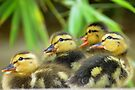 Duckling Quack-tette  by Kimberly Chadwick