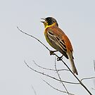 Black-Headed Bunting by Robert Abraham
