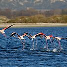 Flock of Greater Flamingoes taking off by Sami Sarkis