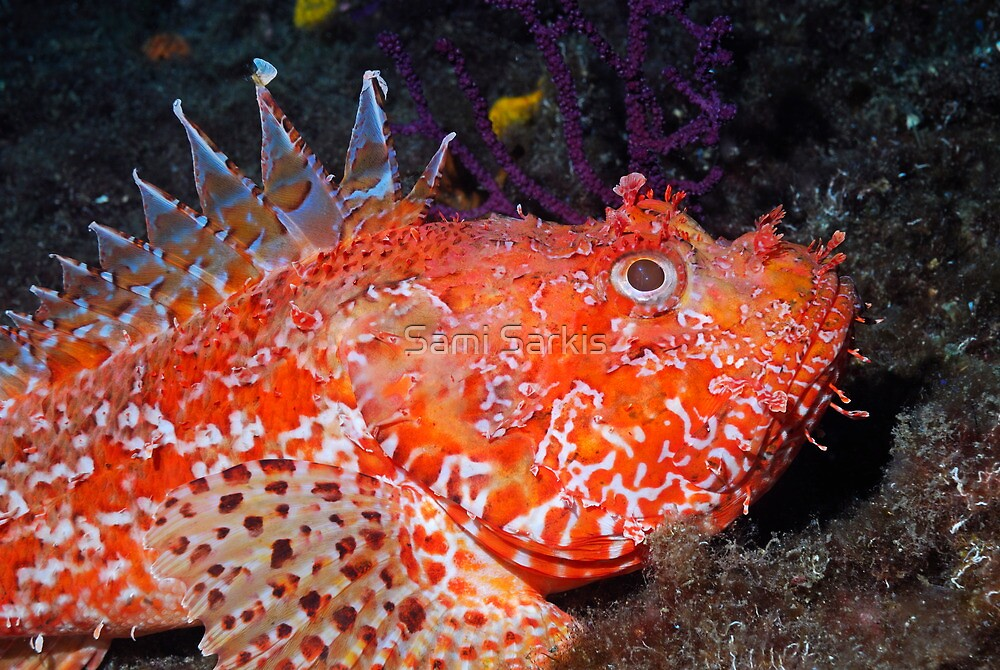 Pustulous Scorpion Fish on rock by Sami Sarkis
