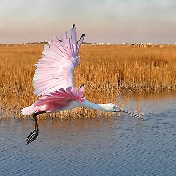 Roseate Spoonbill Flying Through The Salt Marsh by KBaccari