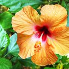 Hibiscus by Eve Parry