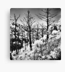 Dead Pines on Angel Island Canvas Print