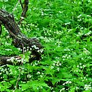 Woodland Still Life with Sweet Cicely by Nancy Barrett
