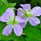 Wild Geranium by Nancy Barrett