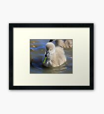 Learning to Eat, baby Black  swan Framed Print