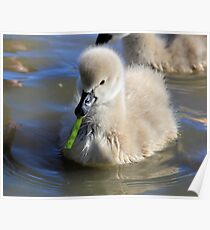 Learning to Eat, baby Black  swan Poster