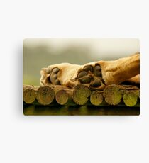 Lions paws Canvas Print