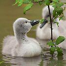 Mute swan cygnet by Stephen Liptrot