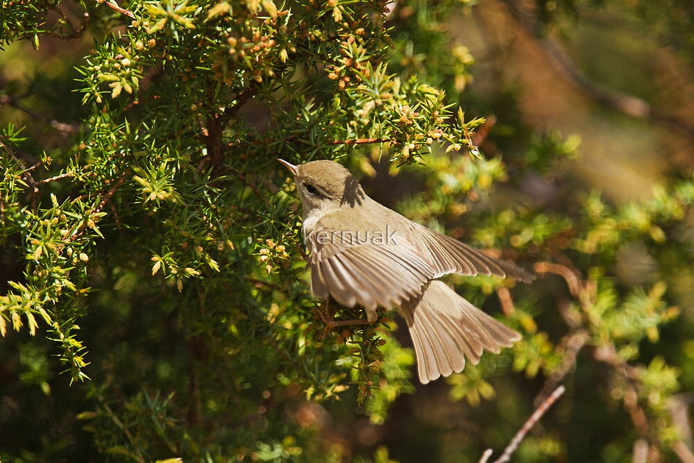 Willow Warbler Flying into Gorse by kernuak