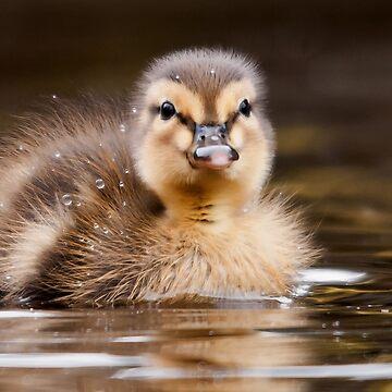 Mallard Duckling by stevesimages1