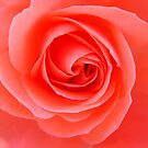 Coral Rose by Honor Kyne