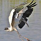Woodstork Coming In For A Landing by Kathy Baccari