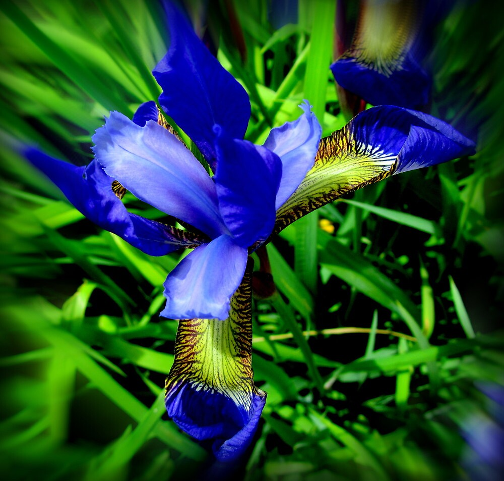 Iris Beauty by Debbie Robbins