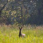 Roe Deer by Andrew Leighton