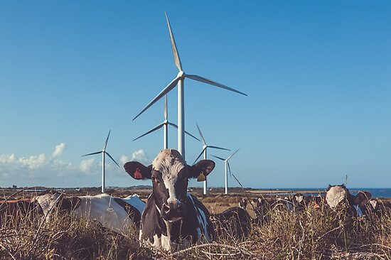 Cow & Wind Power by Shay Murphy