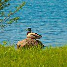A Rock Duck by Richard Lee