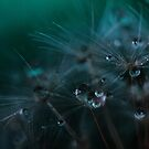 Dandelion seeds and water droplets by Photos - Pauline Wherrell