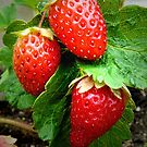 Strawberries on the vine by Amy Herrfurth