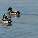 Mallards by Barry W  King
