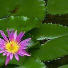 Purple Waterlily by KUJO-Photo
