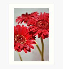 Three red Gerberas Art Print