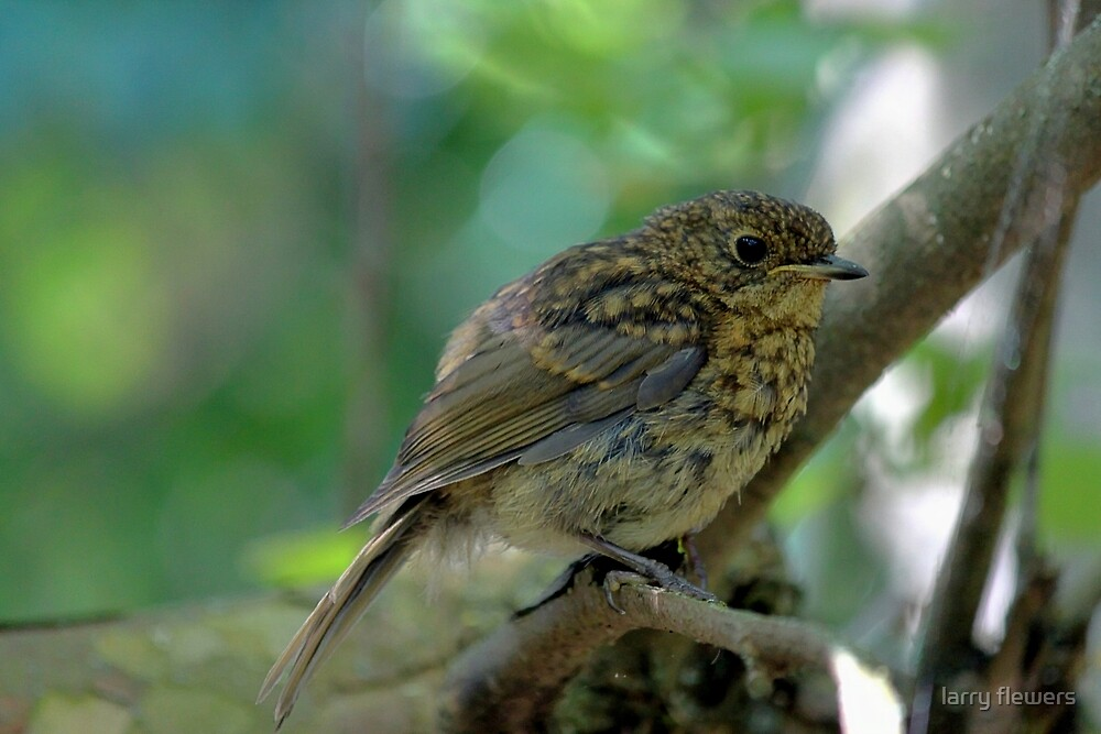 Juvenile Robin by larry flewers