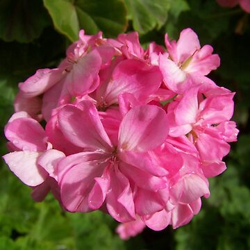 Pink Geranium by MaKay