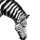 Zebra by Stuart Stolzenberg