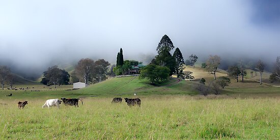 The contented cows of Kyogle by Fran53
