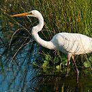 Great Egret, Centennial Park, Sydney, Australia by Erik Schlogl