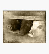 3 little pigs Photographic Print