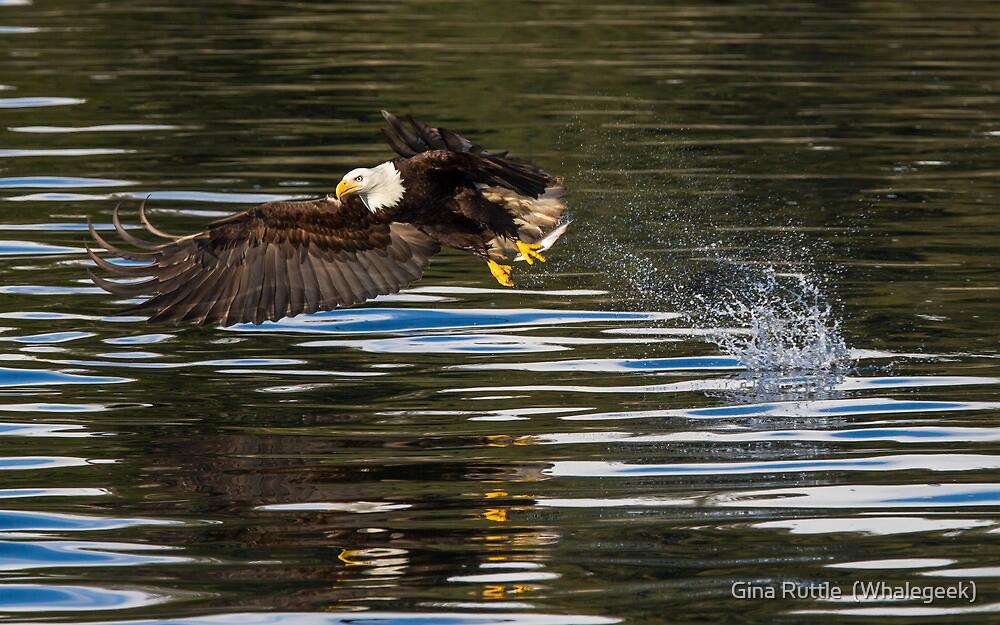 Hunting Bald Eagle by Gina Ruttle  (Whalegeek)