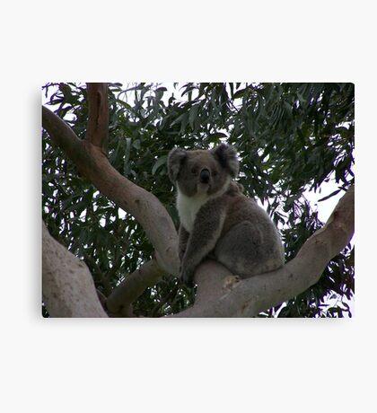 Koala at Kingsvue Canvas Print