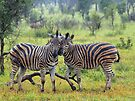 Zebra buddies by Explorations Africa Dan MacKenzie