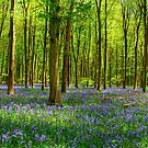 Bluebells in Micheldever Wood by NeilAlderney