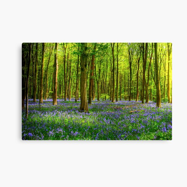 Bluebells in Micheldever Wood Canvas Print