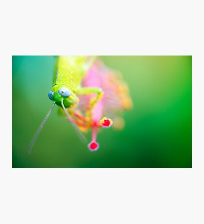 Boggly Eyes - grasshopper on hibiscus Photographic Print