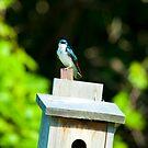 Tree Swallow by Richard Lee
