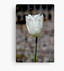 White Tulip Canvas Print