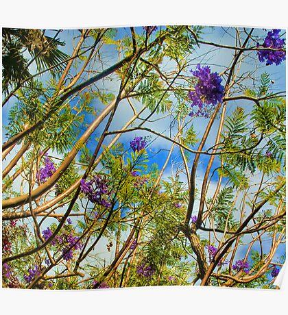 Jacaranda in flower Poster