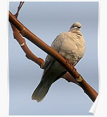 Ring necked dove.........! Poster