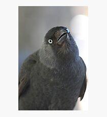 Western Jackdaw (Corvus monedula) Photographic Print