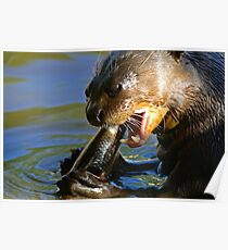Giant River-otter eating a fish 003 Poster