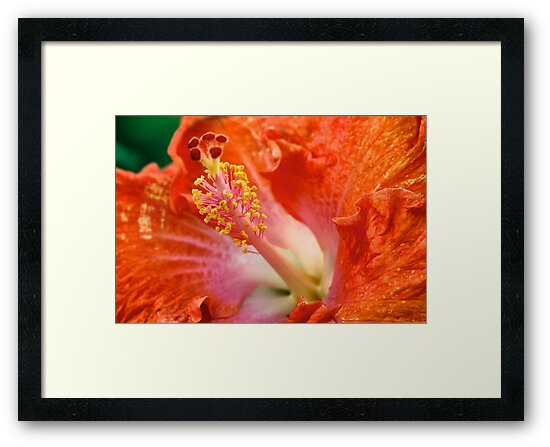 Hibiscus by ZWC Photography