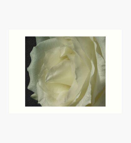 *** ELEGANT MODESTY ~ WHITE ROSE *** Art Print