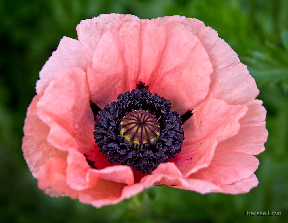 Quot Pink Oriental Poppy Quot By Theresa Elvin Redbubble