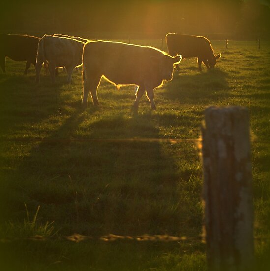 Cattle at Sunset by myraj