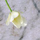 Wistful Tulip by Sandra Lee Woods