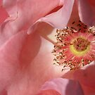 Pink Rose Close-up by SizzleandZoom